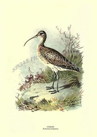 CURLEW - Numenius Arquatus